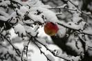 Zima jabłka zaskoczyła
