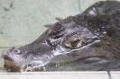 Aligator odpoczywający